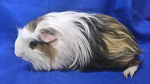 Coronet male guinea pig Mount Pleasant Barossa Area Preview