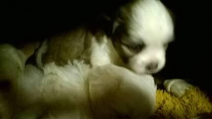maltese shitzu male pups