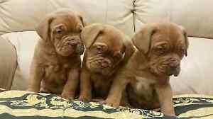 Dogue De Bordeaux puppies Narre Warren North Casey Area Preview