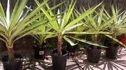 Variegated Yucca Plants in pots Kewarra Beach Cairns City Preview
