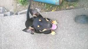 pedigree kelpie male pup for sale with papers Carrington Newcastle Area Preview
