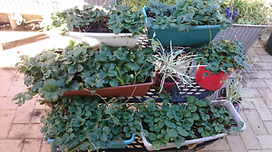 Strawberry / Strawberries Plant Banksia Grove Wanneroo Area Preview