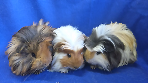 Coronet and Sheba male guinea pigs Mount Pleasant Barossa Area Preview