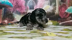Doxiepoo (dachshund x poodle puppies ) Newcastle Newcastle Area Preview