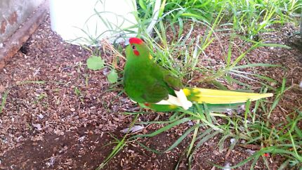 Kakariki Yellow tailed  Dandenong Greater Dandenong Preview