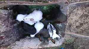 Rabbit's for sale Woodsdale Southern Midlands Preview
