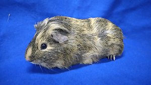 Adult male guinea pig Mount Pleasant Barossa Area Preview