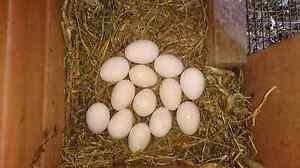 Free Range Eggs Auburn Auburn Area Preview