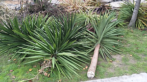 Free Yuccas Lynbrook Casey Area Preview