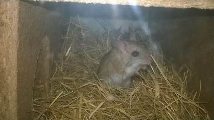 Colony of Hopping Mice Aldinga Beach Morphett Vale Area Preview