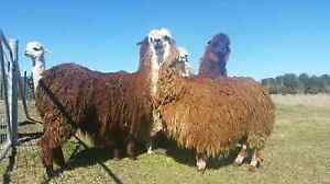 WANTED. Alpaca shearer Burra Queanbeyan Area Preview