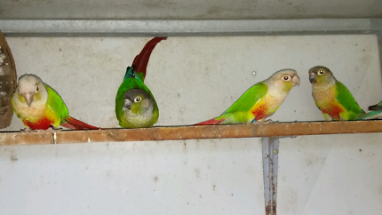 REDUCED to $200 Three conures