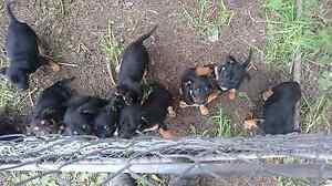 Kelpie Pups Millicent Wattle Range Area Preview