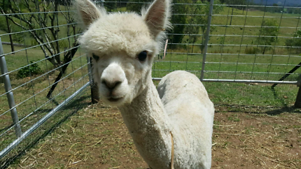Female alpacas pregnant lots to choose from free delivery