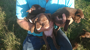 PUREBRED KELPIE PUPS RED AND RED/TAN FEMALE AND MALE Cooroy Noosa Area Preview