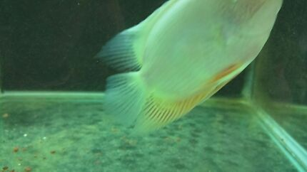 10cm to 12cm Gold Severums Specials!  Canley Heights Fairfield Area Preview