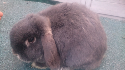 Two beautiful bunnies for sale