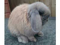 mini lop girl available