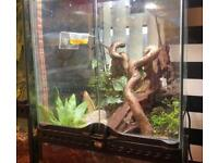 Mourning geckos and full setup