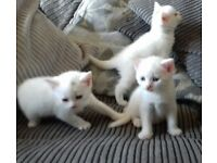 Beautiful White Kittens 2 girls + 1 boy