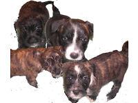 4 GIRLS JACK RUSSEL X WESTIES..... CHIPPED