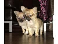 KC Long coat chihuahua puppies