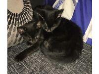 2 Lovely Black Kittens for sale