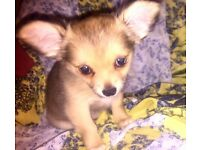 Chihuahua puppies for sale ready to rehome