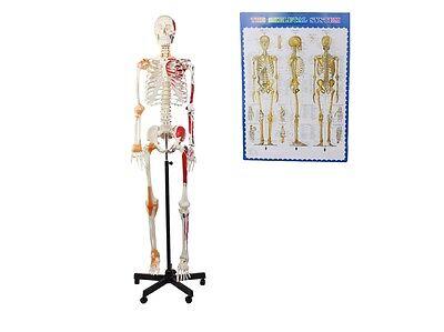 Skelett Modell, mit Ligamenten und Muskel Bemalung, lebensgroß, Anatomie