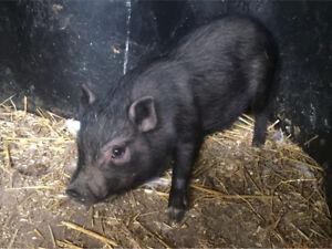 Male mini pig