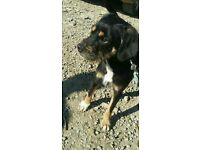 Lovely Lakeland x Paterdale 10 month Dog pup