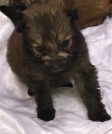 Long hair Pomeranians puppies for sale