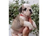 KC Reg English Bulldog Puppies - Champion Sired