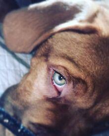 15 week old male dog de bordeaux