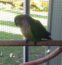 Yellow sided split Conure Palm Beach Gold Coast South Preview
