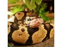 Royal ball python - firefly