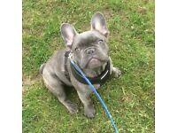 french bulldog, blue male, KC Reg.