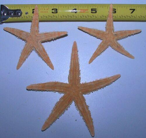 """3 FLAT ORANGE / TAN STARFISH  3""""+ star fish seashells WEDDING DISPLAY # TSF3-3"""