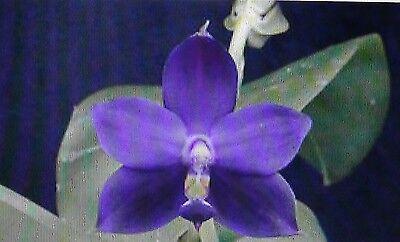 orchids indigo