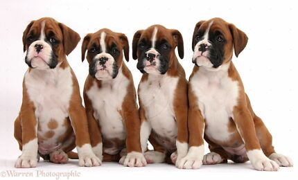 Boxer or American Bulldog Puppys Werribee Wyndham Area Preview