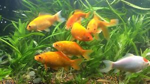 Large 4in plus goldfish for sale