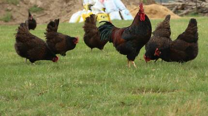 FIRST AND SECOND YEAR BARNEVELDER HENS , BREEDING STOCK