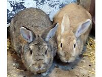 2 Rabbits need a home