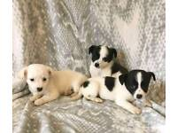 Chihuahua X Terrier Ready Now
