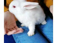 New Zealand/Lop White Bunnies 1 Bucks