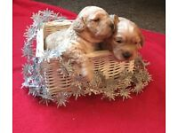Beautiful Rare Champagne F1b Cockapoo puppies. Prcd PRA and FN CLEAR. Now available for viewing.