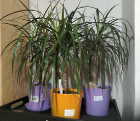 house plants for sale, several dragon trees, aloe vera, mother of millions
