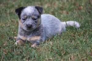 Pure Bred Cattle Dog Pups Gympie Gympie Area Preview