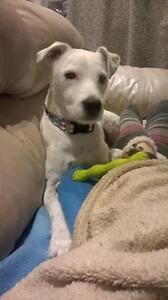 "Adult Male Dog - Jack Russell Terrier: ""Spike"""