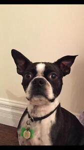 "Young Male Dog - Boston Terrier: ""Frankie"""